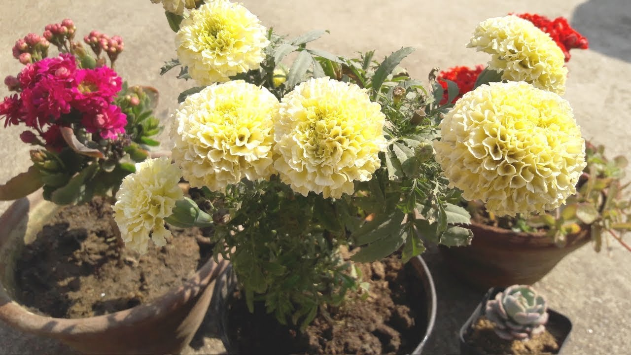 get get more blooming on marigold plants white marigold mightylinksfo