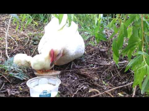 20131013_180539.Spring chickens.mp4