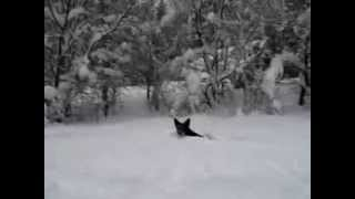 Border Collie, German Shepherd Mix Dog Playing In The Snow