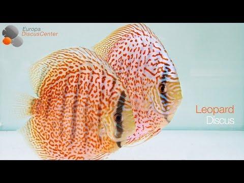 Leopard Diskusfische | Leopard Discus