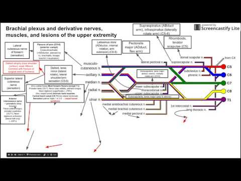 Brachial plexus and derivative nerves, muscles, and lesions of the upper extremity