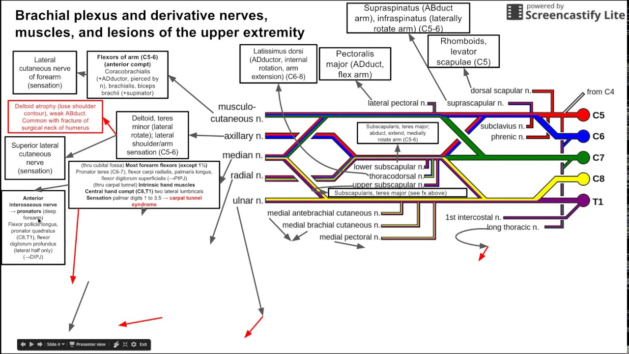 Brachial plexus and derivative nerves, muscles, and lesions of the ...