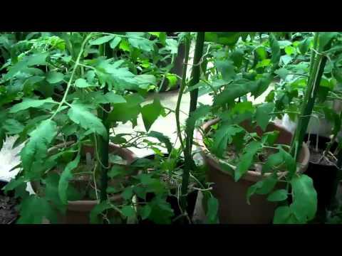 Lg Pot indeterminate tomato overview nctomatoman June 1 2012