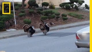 Why Are Turkeys Running Wild in These Neighborhoods? | National Geographic