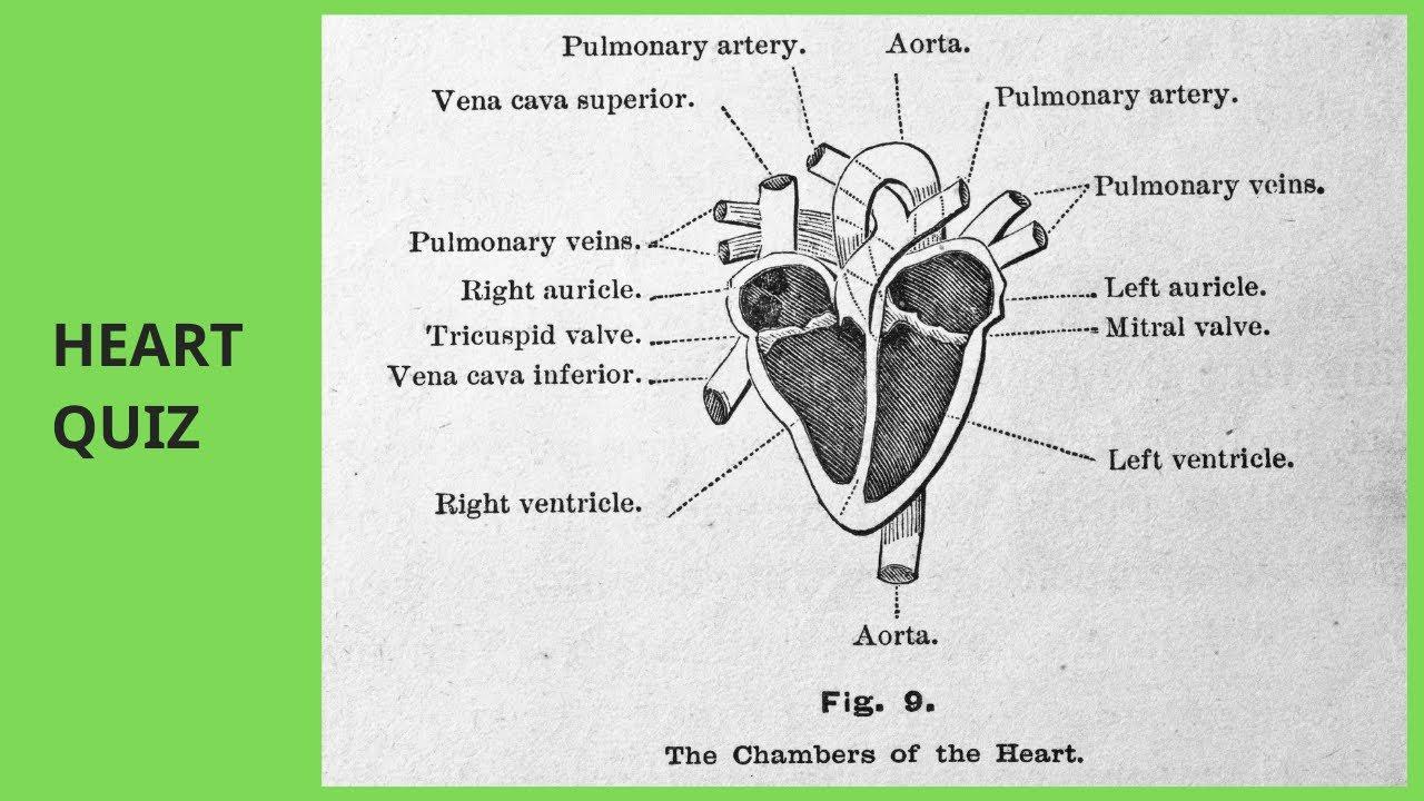 Cardiovascular MCQs   Heart anatomy and physiology