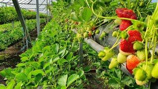 2 млн. ₽ на клубнике в сезон. С теплицы 72×11 метров, 12000 растений в мешках.
