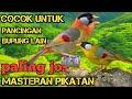 Suara Burung Pancawarna Suara Burung Pancawarna Gacor  Mp3 - Mp4 Download