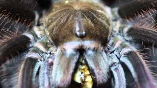 Theraphosa apophysis feeding(, 2013-11-04T19:50:46.000Z)