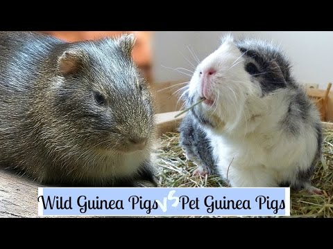 Wild Guinea Pigs VS Pet Guinea Pigs
