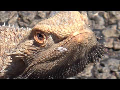 cloe up video of frill neck lizard Australian. Filmed by aussieoutbackcrew