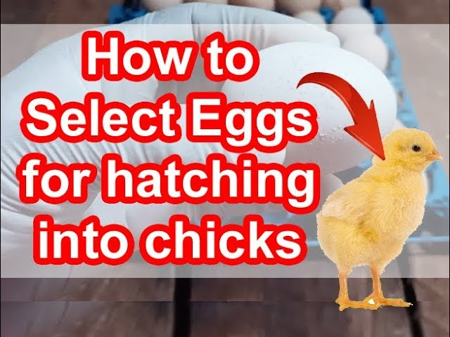 How to select eggs for hatching into chicks How to hatch eggs into chicks