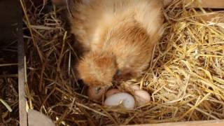 Kura zjada jajko. Broody hen eating her egg.