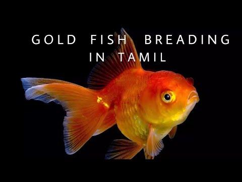 Goldfish breeding  in tamil