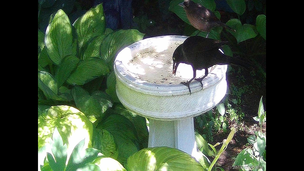 Parent grackle feeding baby