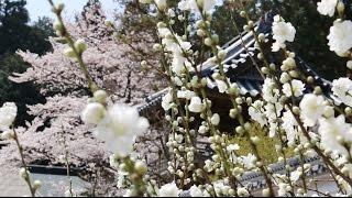 福厳寺【春の景色】