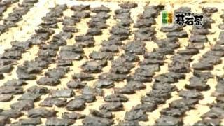 大豊の碁石茶CM&トレンド調査隊