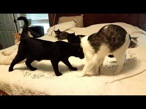 Benson, a super loving Bombay cat!