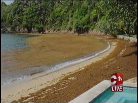 Sargassum Affects Tobago's Atlantic Coastline