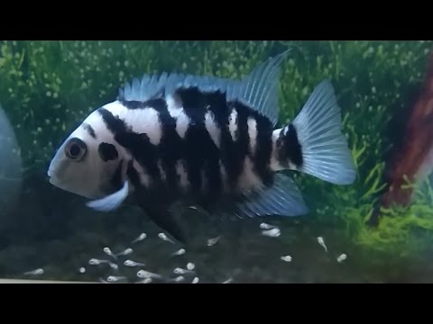 Convict cichlids breeding: Eggs hatching and taking care of the new born fry