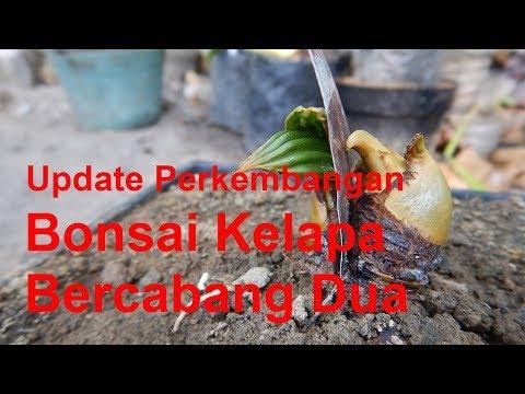 Update Bonsai Kelapa Cara Membuat Kelapa Bercabang Part 2 Youtube