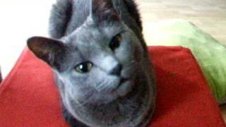 Russian Blue Cat ZsaZsa