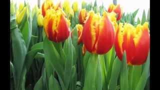 Праздник тюльпанов.Владивосток 24-02-2013. Автор Галлия Женевская http://katalonka.ru