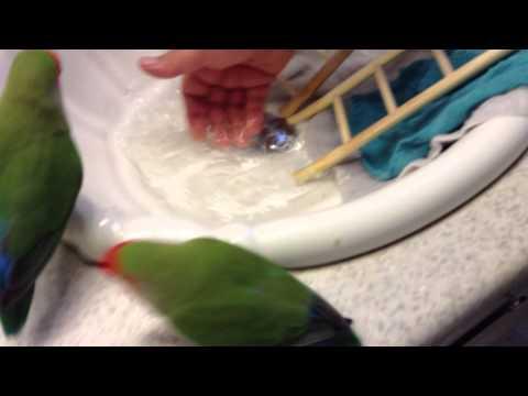 Lovebirds Taking a bath in the sink