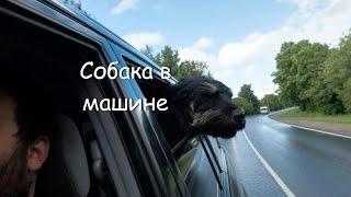 Собака в окне машины