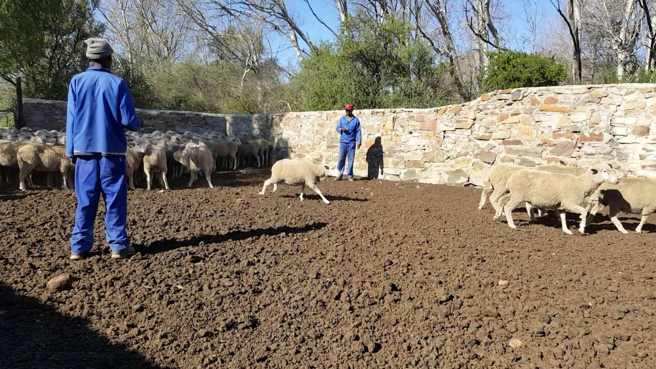 Graaff Reinet Old Dohne Merino Ewes For Sale Scanned Pregnant 17 5 Twins With 4 Months Wool Youtube