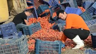 Domates Yüklü KAMYON devrildi tonlarca domates ziyan oldu