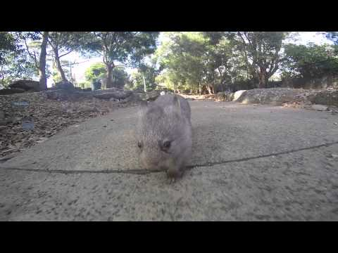 Chloe the wombat goes to work