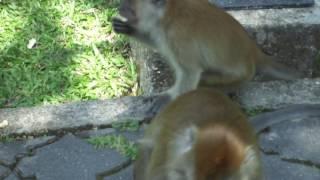 Пьяные в жопу обезьяны