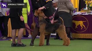 Airedale Terriers | Breed Judging 2020