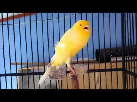 Download Lagu Suara Burung Kenari jantan super gacor !!! josh