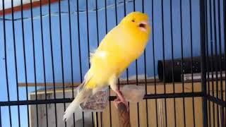 Suara Burung Kenari jantan super gacor !!! josh