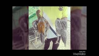Ayam ratu LHK Malaysia