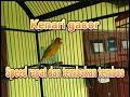 Kenari Gacor Rapat Dan Tembakan Cocok Untuk Masteran Dan Pancingan Paud Kenari Supaya Gacor  Mp3 - Mp4 Download
