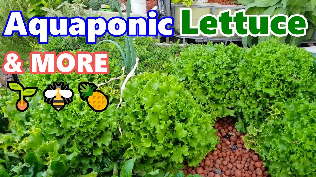 saving lettuce seeds aquaponics u0026 pineapple flowers backyard
