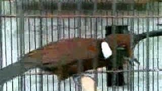 Kicau Mania Burung Cililin Coklat Siap Tempur - Full Video