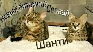 Сервал Шанти:Кошка сервал(опять большое пополнение)Чусиг кот саванна и Шанти