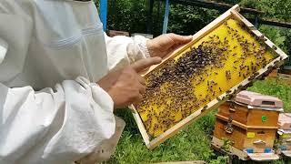 Arılarda oğul ateşini alma işlemi sonrası.