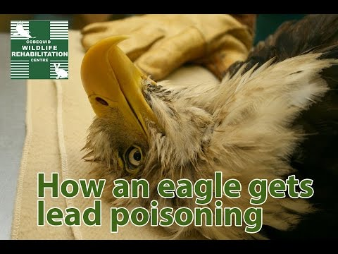 Lead Poisoning in Eagles