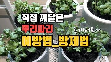 [후니네농장] Ep7.뿌리파리 예방과 방제_라넌큘러스 키우기