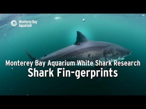 Project White Shark — Shark Fin-gerprints