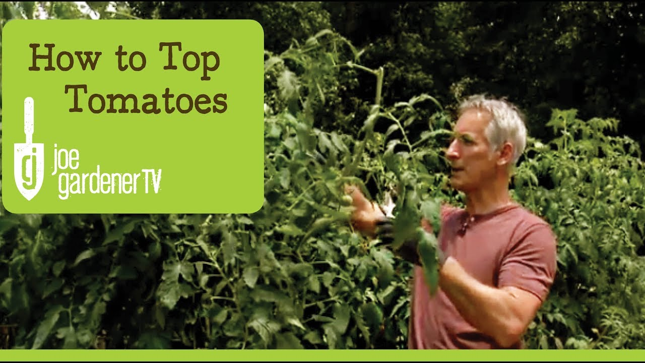 topping tomato plants