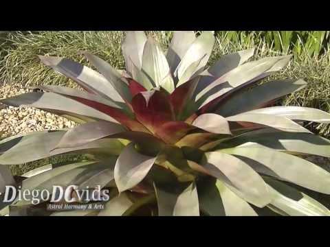 Alcantarea imperialis species (Bromeliaceae) Bromélia imperial