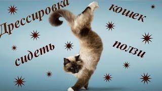 Дрессировка кошек | Обучение командам: Сидеть и Ползи.