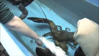 Biggest Lobster Training at the New England Aquarium