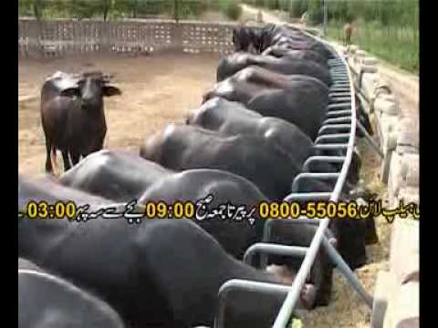 Livestock feeds part-1 Pakistan Dr.Ashraf Sahibzada