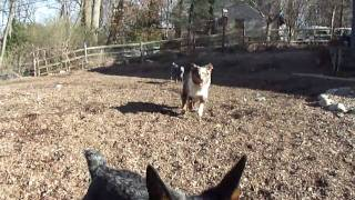 4 month old Silver, An Australian Stumpy Tail Cattle Dog, loves to ...